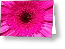 Hot Pink Gerbera Greeting Card