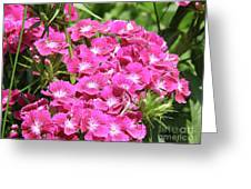 Hot Pink Sweet William Flowers In A Garden Blooming Greeting Card