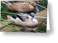 Hottentot Teal Greeting Card