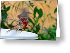 House Finch - 2 Greeting Card