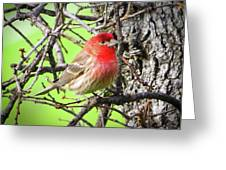 House Finch - 3 Greeting Card