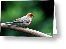 House Finch . 40d7227 Greeting Card