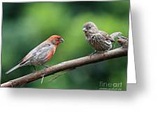 House Finch Courtship Greeting Card