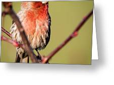 House Finch In Full Color Greeting Card