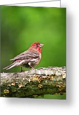 House Finch Perched Greeting Card