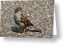 House Sparrow Portrait Greeting Card