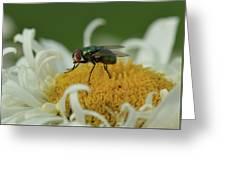 Housefly On Daisy Greeting Card