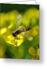 Hoverfly On Yellow Flower Greeting Card