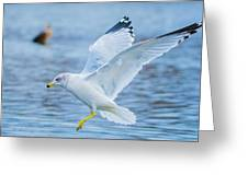 Hovering Seagull Greeting Card