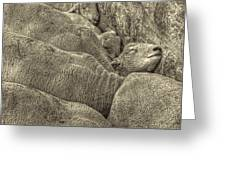 Huddled Yearling Rams Greeting Card