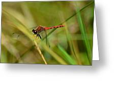 Hudsonian Whiteface Dragonfly Greeting Card