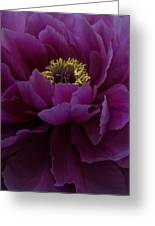 Huge Magenta Peony Greeting Card