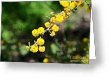 Huisache Close-up Greeting Card