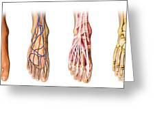 Human Foot Anatomy Showing Skin, Veins Greeting Card
