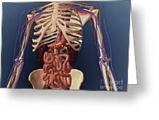 Human Skeleton Showing Kidney, Stomach Greeting Card