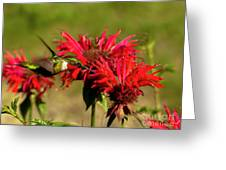 Hummer In The Bee Balm Greeting Card