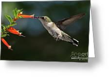 Hummingbird #4 Greeting Card