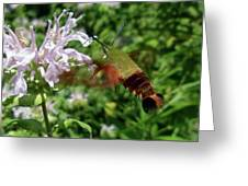 Hummingbird Clear-wing Moth At Monarda Greeting Card