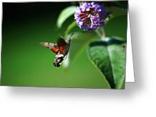 Hummingbird Hawk Moth - Five Greeting Card