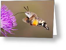 Hummingbird Hawk-moth  Greeting Card