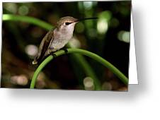 Hummingbird  Greeting Card