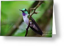 White-bellied Mountain Gem Greeting Card