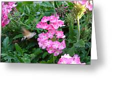 Hummingbird Moth On Pink Verbena Greeting Card