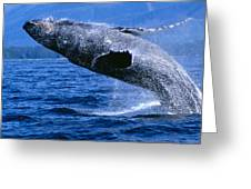 Humpback Full Breach Greeting Card