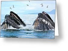 Humpback Whales In Juneau, Alaska Greeting Card