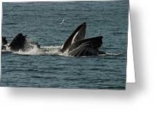 Humpback Whales Megaptera Novaeangliae Greeting Card