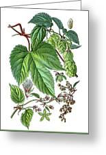 Humulus Lupulus, Common Hop Or Hop Greeting Card