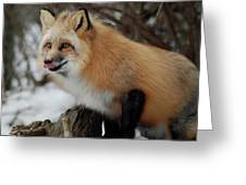 Hungry Fox Greeting Card