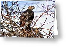 Hunting Red-tailed Hawk Greeting Card