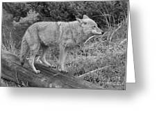 Hunting With Ears Back Black And White Greeting Card