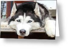Husky Eyes Greeting Card