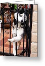 Husky Leo Focused Greeting Card