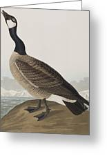 Hutchins's Barnacle Goose Greeting Card