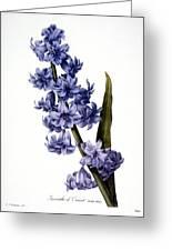 Hyacinth Greeting Card by Granger