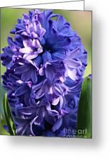Hyacinth Highlights Greeting Card
