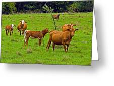 Hybrid Cattle On The Deseret Ranch In East Central Florida Greeting Card