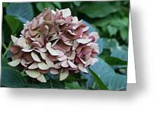 Hydranga In Mauve Greeting Card