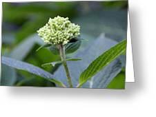 Hydrangea Bud Greeting Card