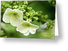 Hydrangea Buds Visit Www.angeliniphoto.com For More Greeting Card