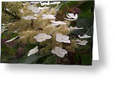 Hydrangea. Cream-white. Greeting Card