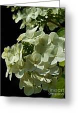 Hydrangea Formal Study Portrait II Greeting Card