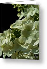 Hydrangea Formal Study Portrait Greeting Card