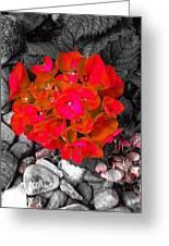 Hydrangea In Carmine Greeting Card
