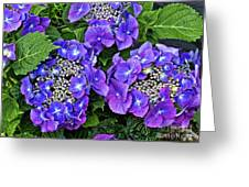 Hydrangea, Macrophylla Teller Greeting Card