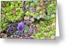Hydrangea  One Greeting Card