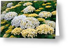 Hydrangeas Blooming Greeting Card